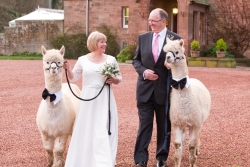 Jan and Don Morgan at their wedding with alpacas at Cringletie House Hotel near Peebles