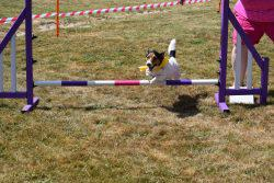Jack Russel jumping agility