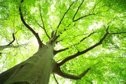 looking up from the foot of a giant tree through branches and green leaves